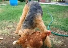 Babs en boebie kippen 5