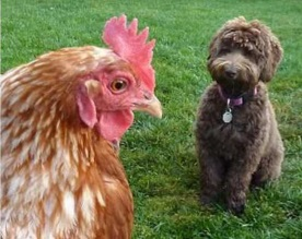 Babs en boebie kippen 6