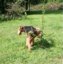 Babs en boebie echte airedale terrier! 1