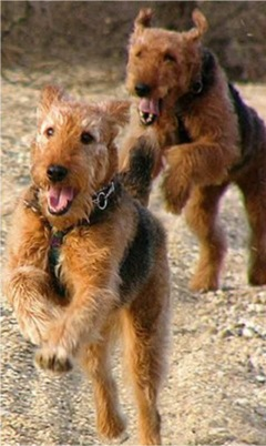 Babs en boebie echte airedale terrier! 7